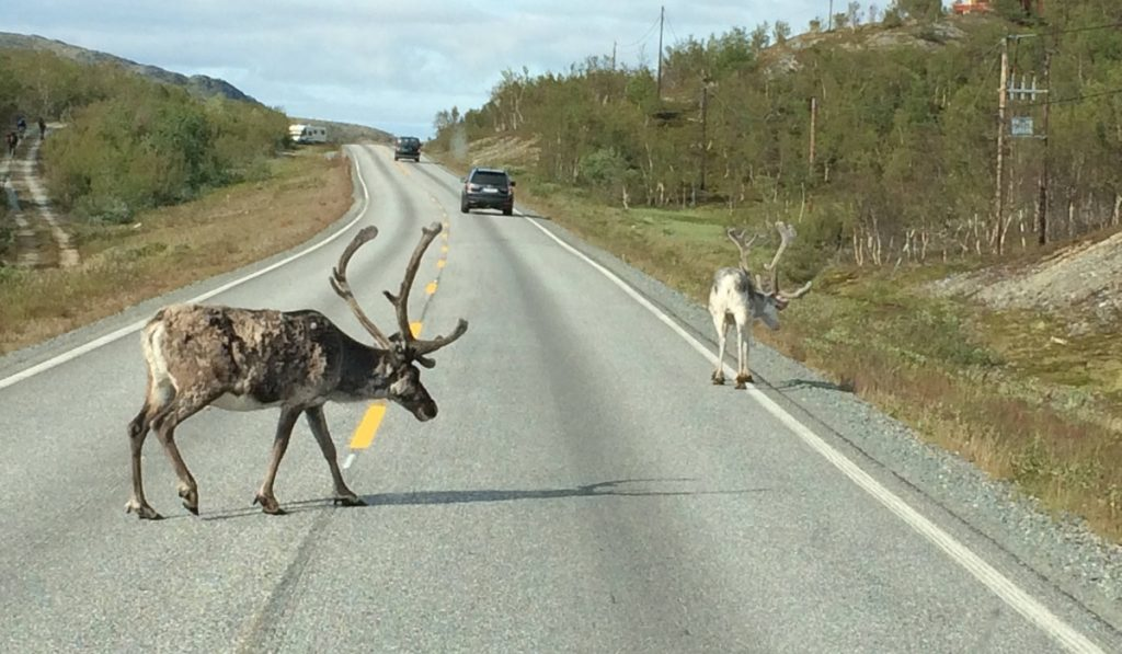 Reindeer in North Norway