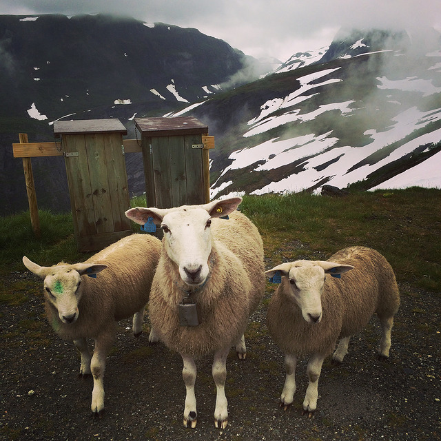 Sheep and snow in July